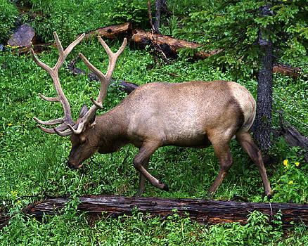 Elk walking in Rocky Mountain National Park by D Winston