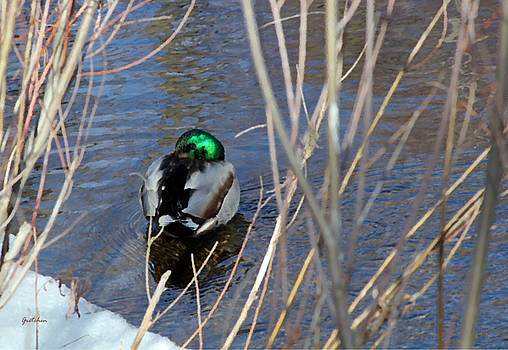 Emerald Green Mallard Dozing in Still Waters by Gretchen Wrede