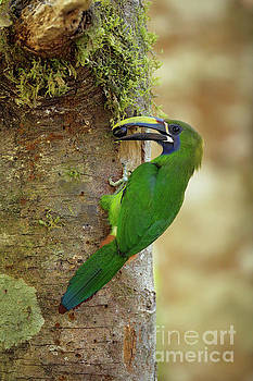 Emerald Toucanet and wild fruit by Juan Carlos Vindas
