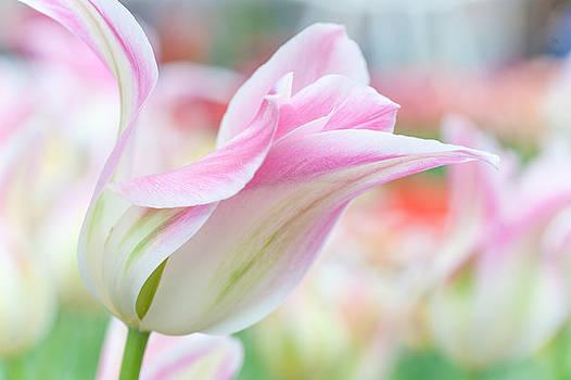 Jenny Rainbow - Emollient Lightness. Tulips of Keukenhof