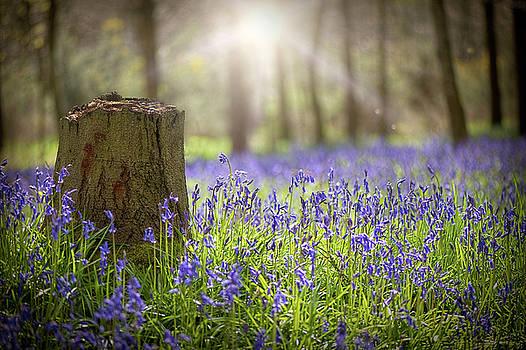 English Bluebells by Jacky Parker