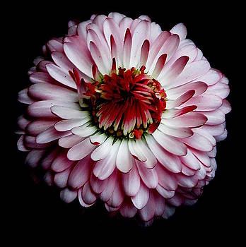 English Daisy by Tanya Keefe