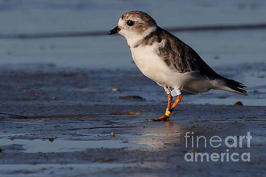 Erwin - Piping Plover by Meg Rousher