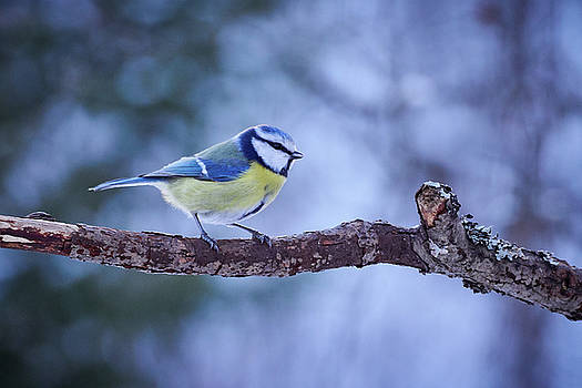 Eurasian blue tit in the evening light by Jouko Lehto