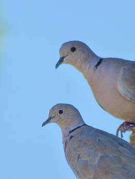 Eurasian Collar Doves by Kimo Fernandez