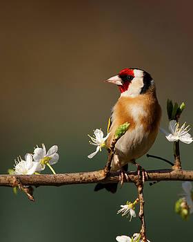 European Goldfinch on flowering Blackthorn. by Paul Scoullar