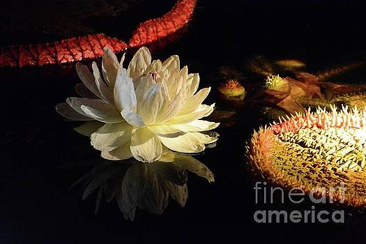 Evening Water Lily by Cindy Manero