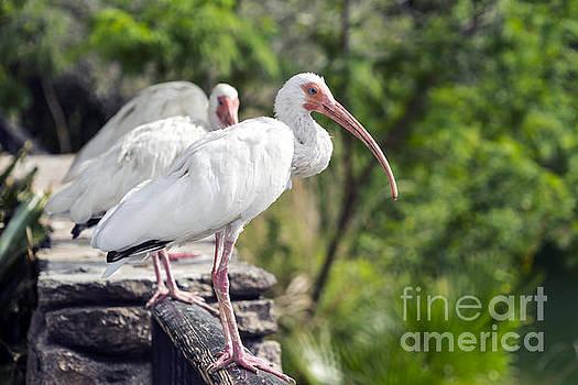 Lynn Palmer - Everglades Ibis