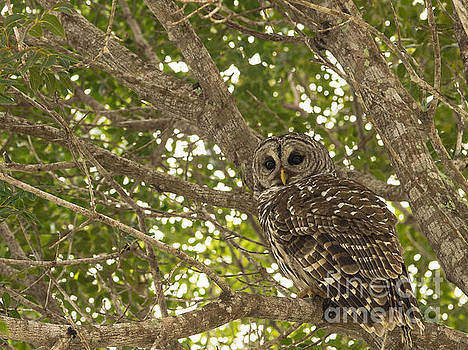 Everglades Owl 2 by Tracy Knauer