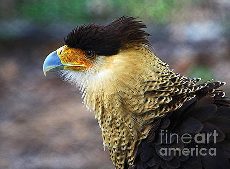 Excited Caracara by Larry Nieland