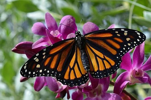 Exquisite Monarch by Carol McGunagle