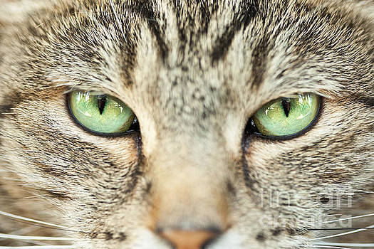 Extreme Close Up Tabby Cat by Sharon Dominick