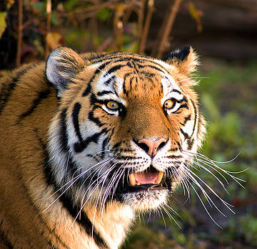 Eyes of the Tiger by Jim Markiewicz