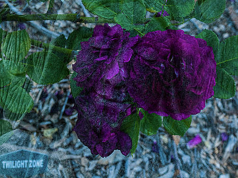 Face In A Rose by Randy Sylvia