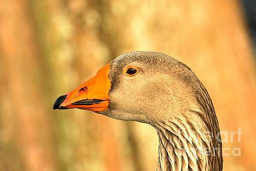 Adam Jewell - Face Of A Toulouse Goose