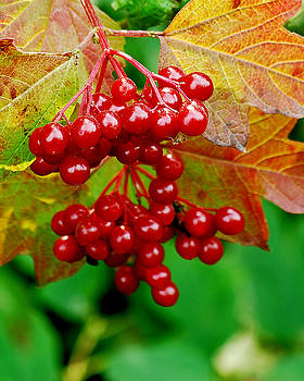 Michael Peychich - Fall Berries
