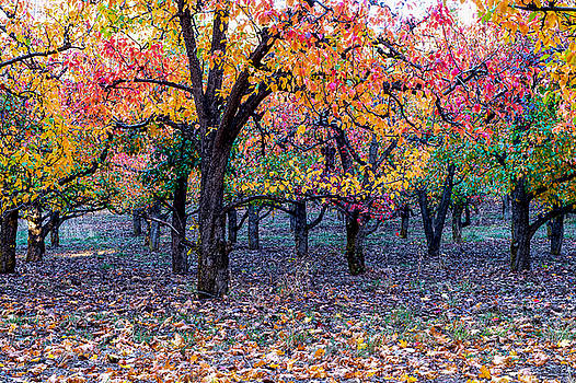 Fall color in Orchard by Hisao Mogi
