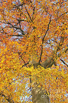 Patricia Hofmeester - Fall Foliage