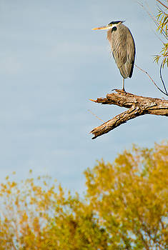 Fall Heron by Preston Broadfoot