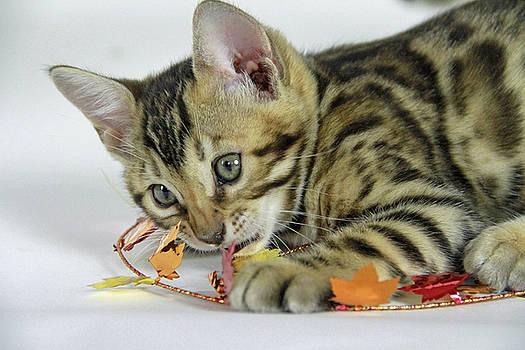 Fall Kitten by Shoal Hollingsworth