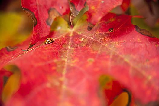 Fall ladybug by Chad Davis