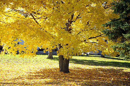 Fall Maple Tree With Bright Yellow Leaves by Norman Pogson