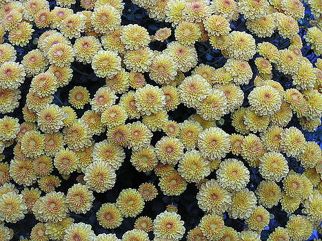 Fall Mums by Diane Frick