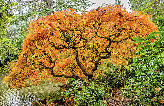 Fall Season Maple by Jerry Cahill