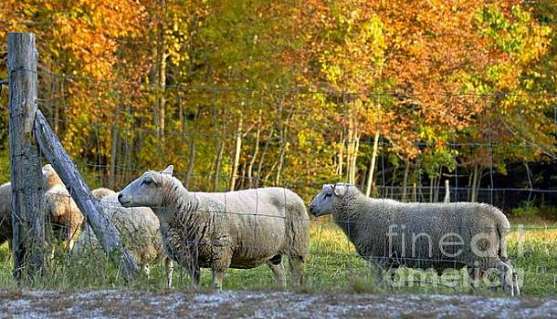 Fall Sheep by Christopher Mace