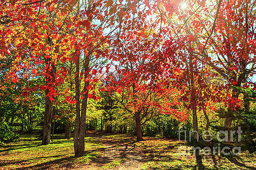 Fall Trees by Verena Matthew