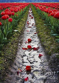 Fallen Petals among the Red Tulips by Maria Janicki