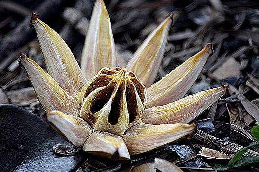 Fallen Seed Pod by Lori Seaman