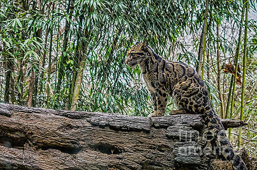 Fallen tree Clouded Leopard on the end by Photo Captures by Jeffery