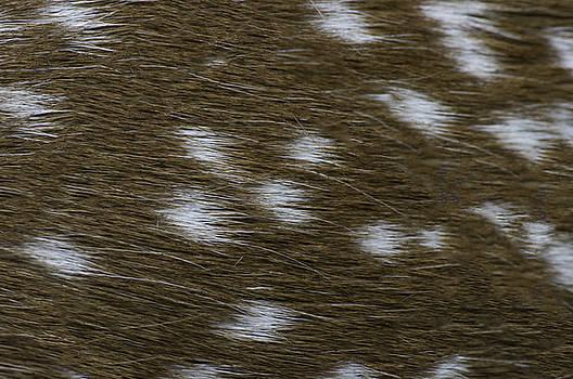 Fallow Deer  by Linda Geiger
