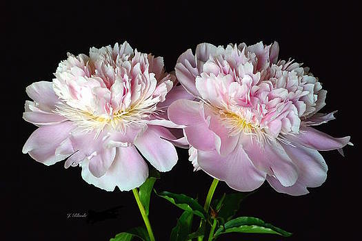 Fancy Pink Peonies by Jeannie Rhode Photography