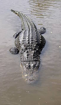 Laurie Perry - Fat Bellied Gator