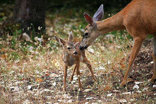 Fawn and Doe by Kevin Schlanser