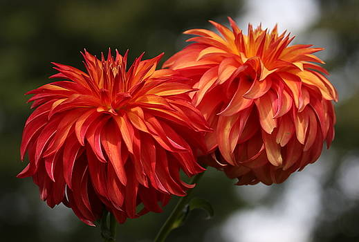 Feathered Dahlia by DVP Artography