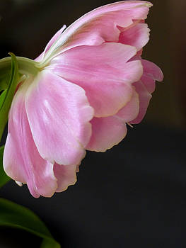 Jeff Brunton - Feathered Tulips 9