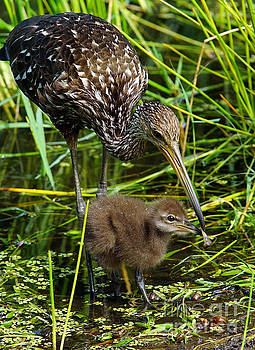 Feeding Limpkin Chick by Larry Nieland