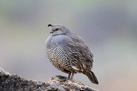 Female California Valley Quail by Doug Lloyd