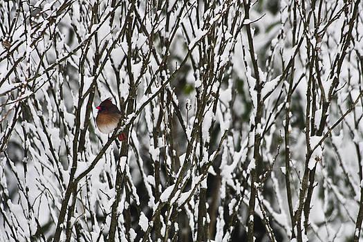 Teresa Mucha - Female Cardinal in the Snow