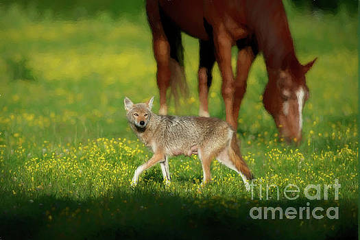 Dan Friend - Female coyote cautiously walking in field with horses