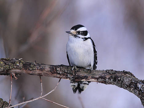 Cathy  Beharriell - Female Downy Woodpecker Frontview