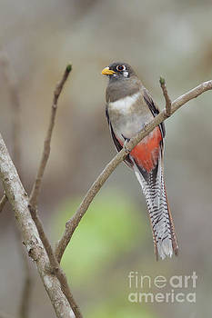 Female Elegant Trogon in Costa Rica by Juan Carlos Vindas
