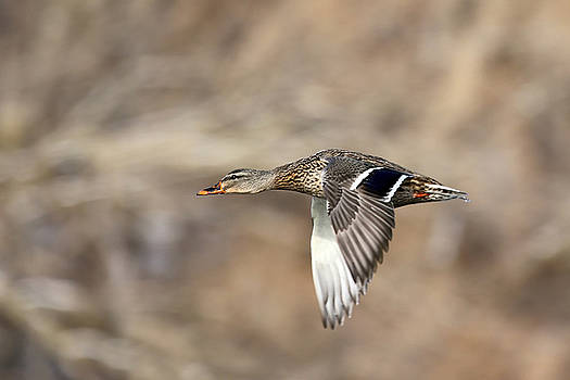 Female Mallard Fly By by Jim Nelson