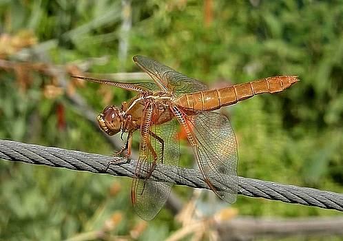 Tracey Harrington-Simpson - Female Red Skimmer Dragonfly