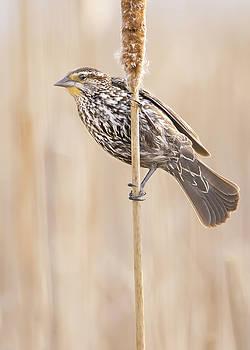 Female Red-winged Blackbird by Jim Hughes