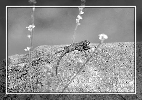 Cindy Nunn - Female Western Fence Lizard