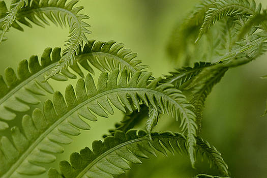 Ferns by Jane Melgaard